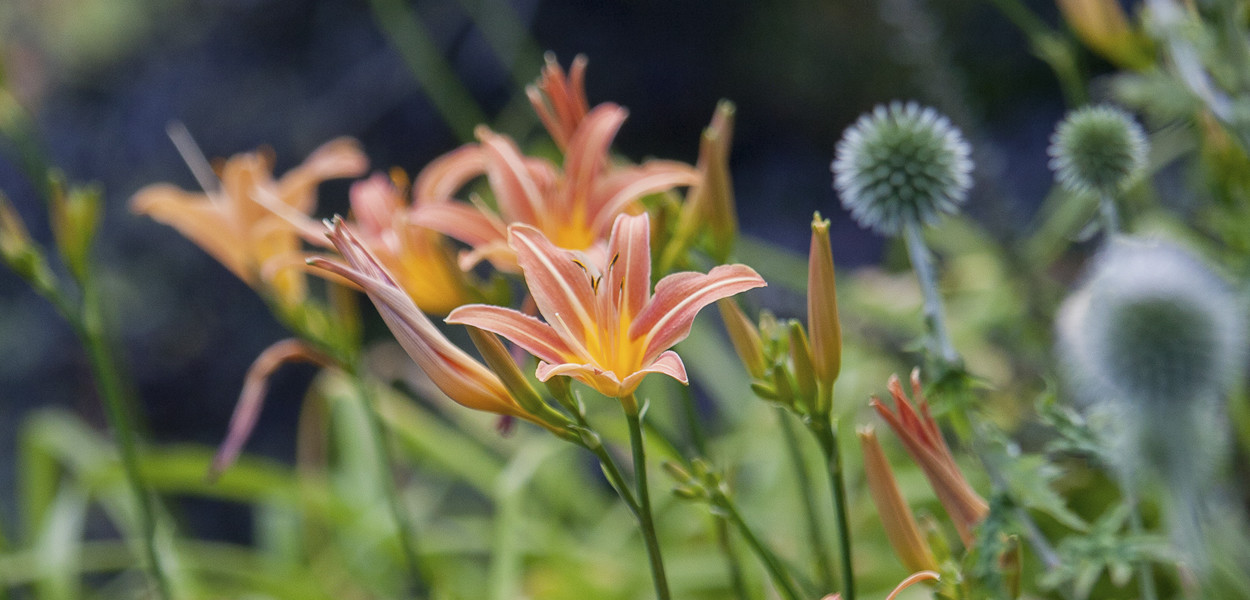 Day Lilies at Birr Castle