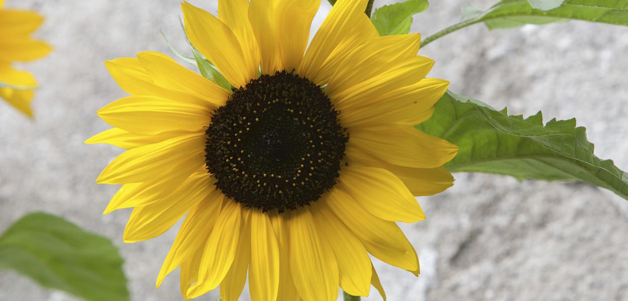 sunflower-leonie-cornelius-birr-colin-gillen-1