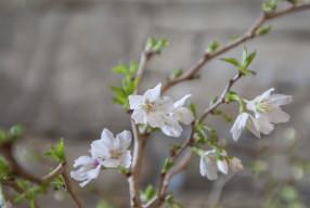 Birr Castle Hanami- Celebrating the Cherry  花見