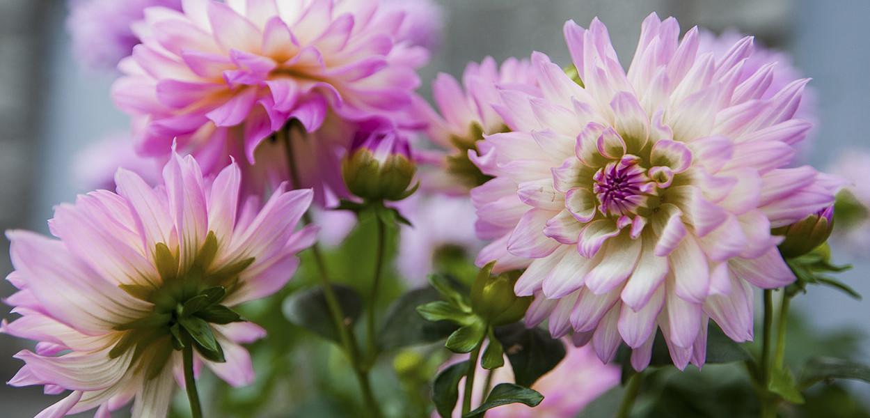 leonie-cornelius-colin-gillen-dahlia-maxi-hazelwood-house-garden-woodies.5