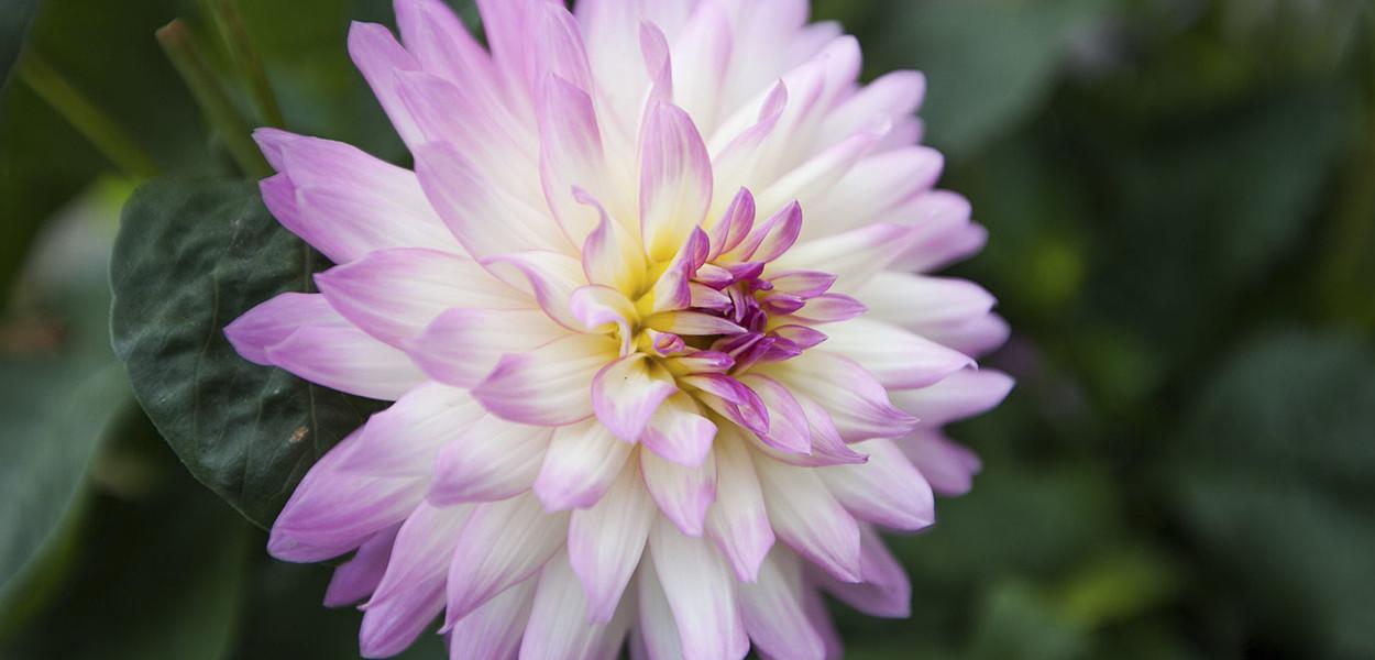 leonie-cornelius-colin-gillen-dahlia-maxi-hazelwood-house-garden-woodies.6