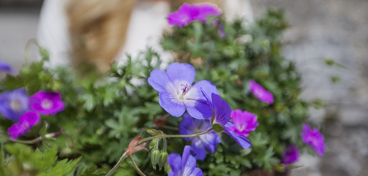 leonie-cornelius-colin-gillen-geranium-june-blake-garden-4