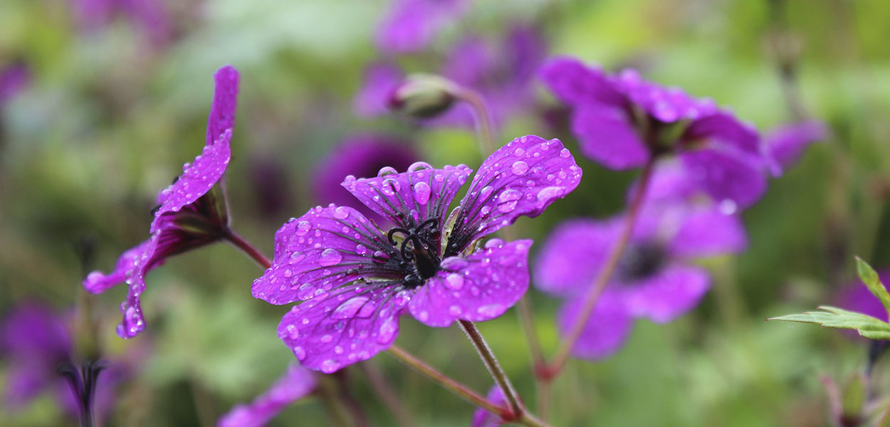 leonie-cornelius-colin-gillen-geranium-june-blake-garden-7