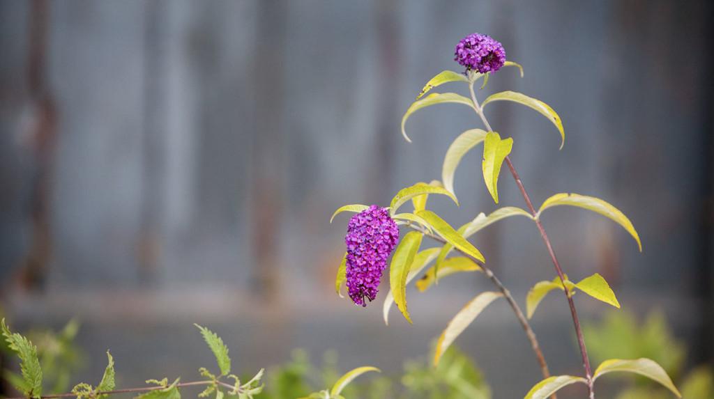leonie-cornelius-garden-designer-buddleja-columnist2