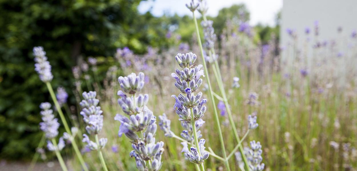 leonie-cornelius-lavender-garden-design5