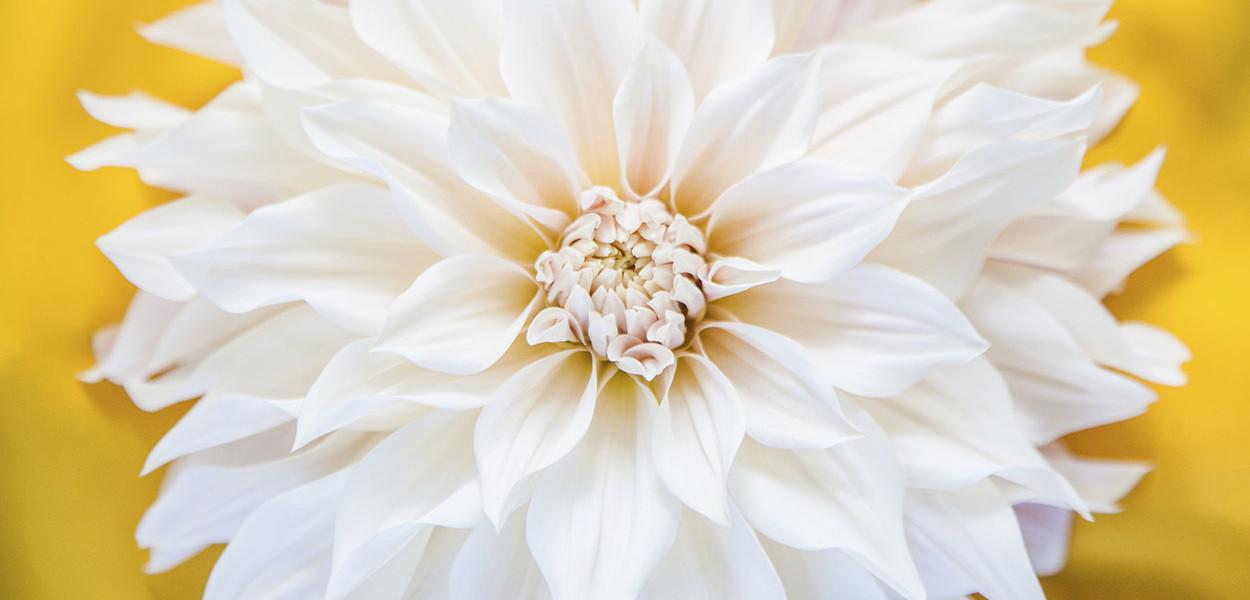 leonie-cornelius-garden-designer-ireland-dahlia-bloom-6