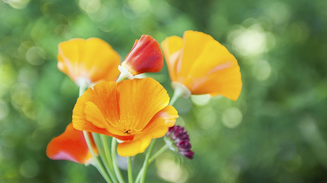 leonie-cornelius-colin-gillen-garden-design-californian-poppy5