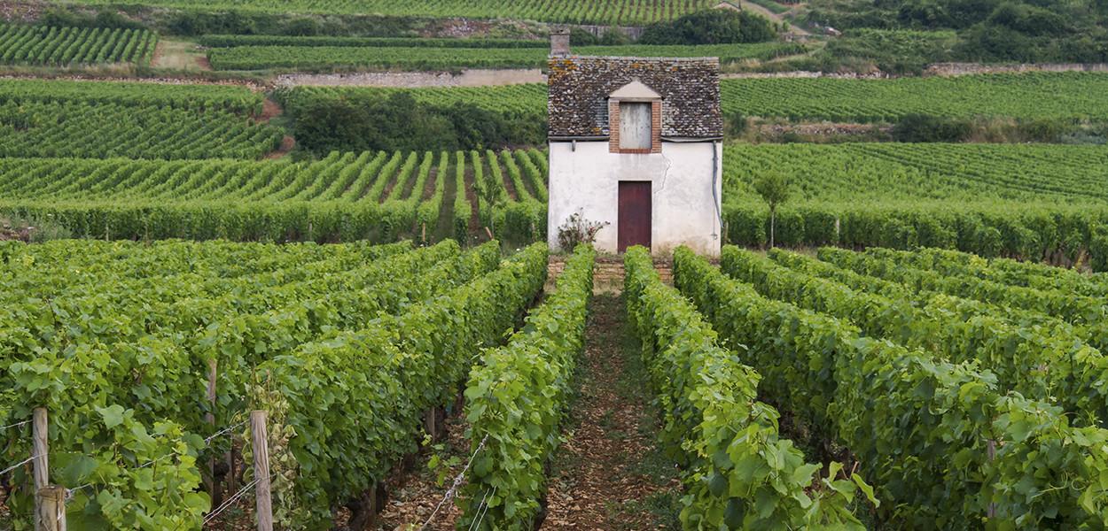 wine-grapes-vinoveritas-organicwine-biodynamic-wine-leonie-cornelius3