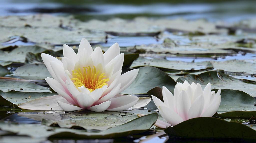 leonie-cornelius-lissadellhouse-gardendesign-waterlilies2