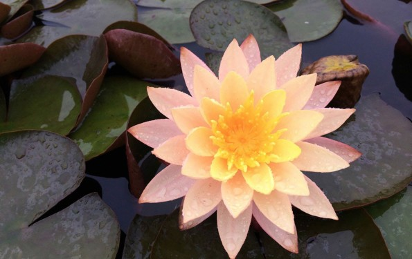 peachy-toned-water-lily