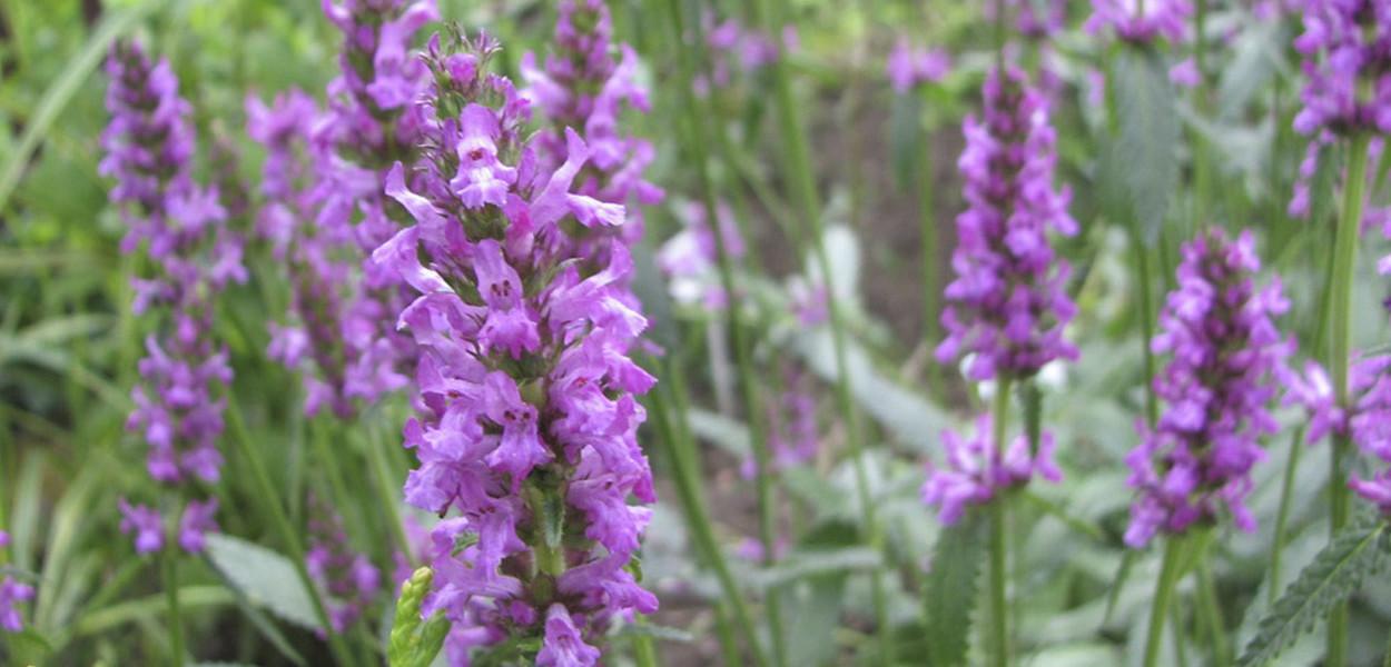 leonie-cornelius-medicinal-garden-design4