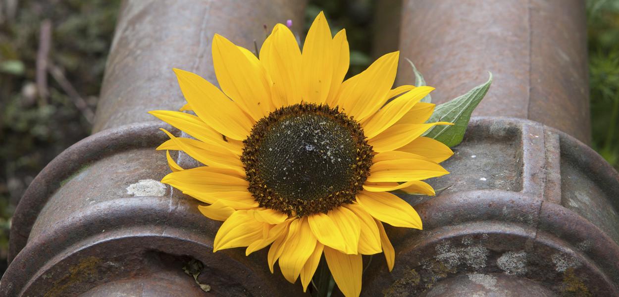leonie-cornelius-sunflower-birr-colin-gillen-4