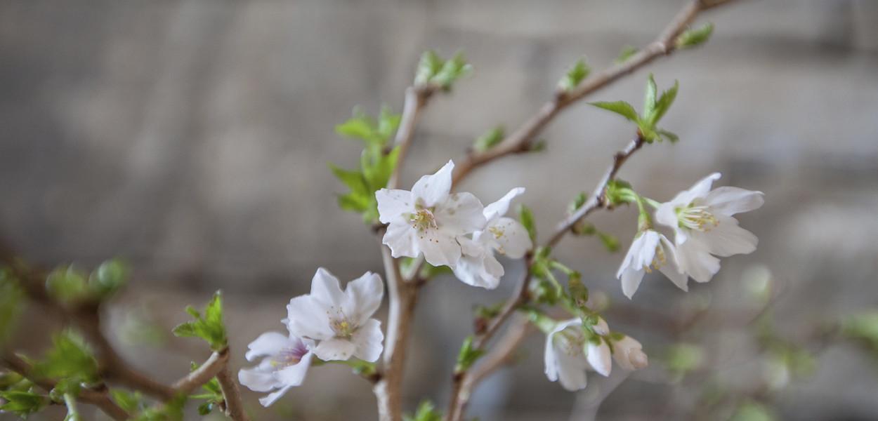 leonie-cornelius-cherry-clossom-birr-castle-colin-gillen-