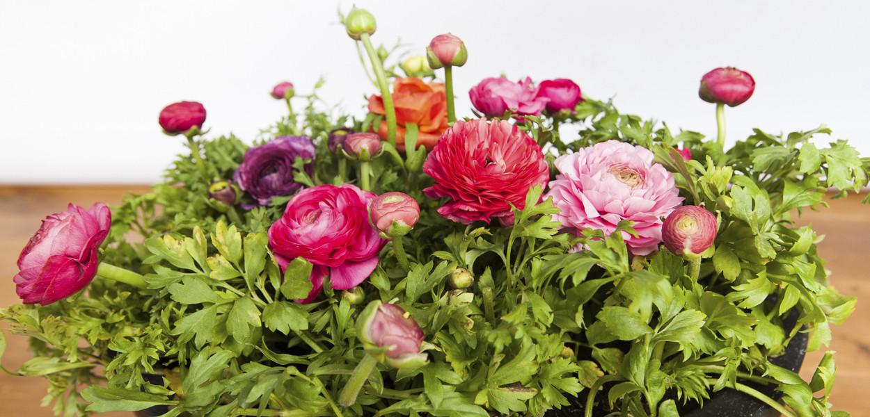 leonie-cornelius-ranunculus-mail-on-sunday-colin-gillen-Juvi-alhambra-garden-designer-4