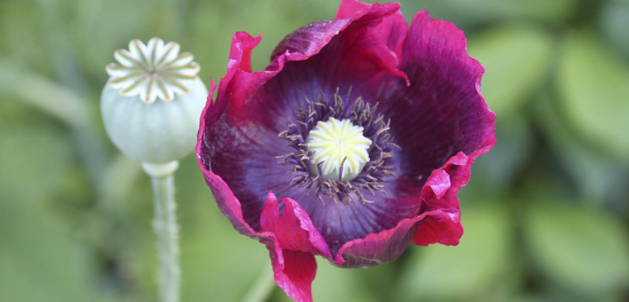 leonie-cornelius-mail-on-sunday-strootmann-landschapstarchitecten-colin-gillen-chaumont-sur-loire-billie-holiday-poppy.4