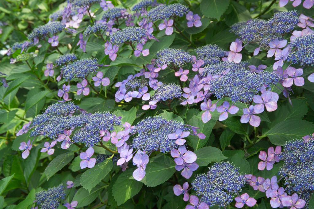 hydrangea-serrata-bluebird