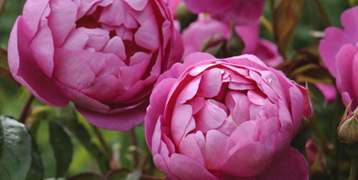 rosa-royal-jubilee-auspaddle-1