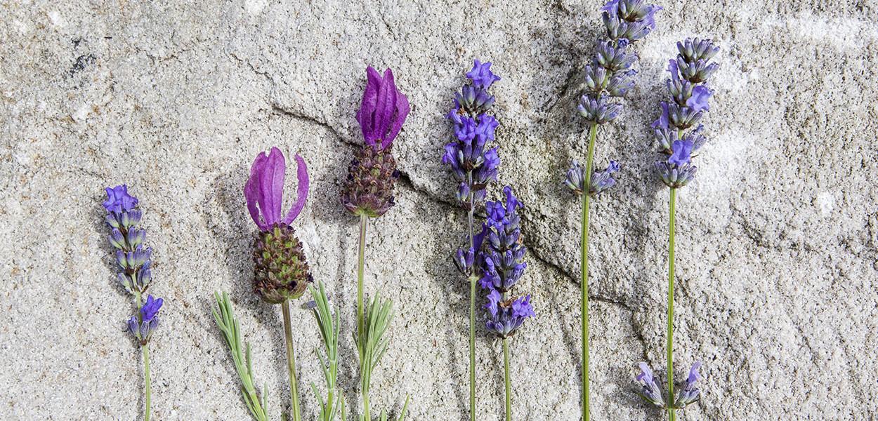 leonie-cornelius-lavender-garden-design4