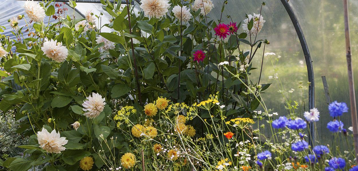 leonie-cornelius-garden-designer-ireland-dahlia-bloom-2