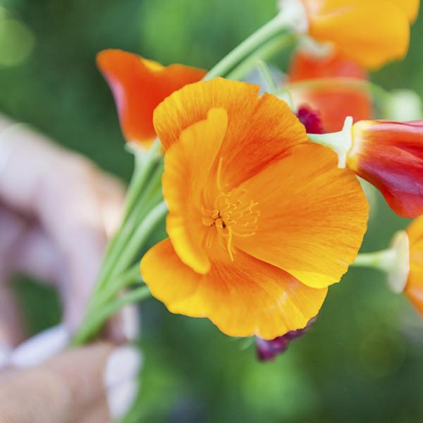 leonie-cornelius-colin-gillen-garden-design-californian-poppy2