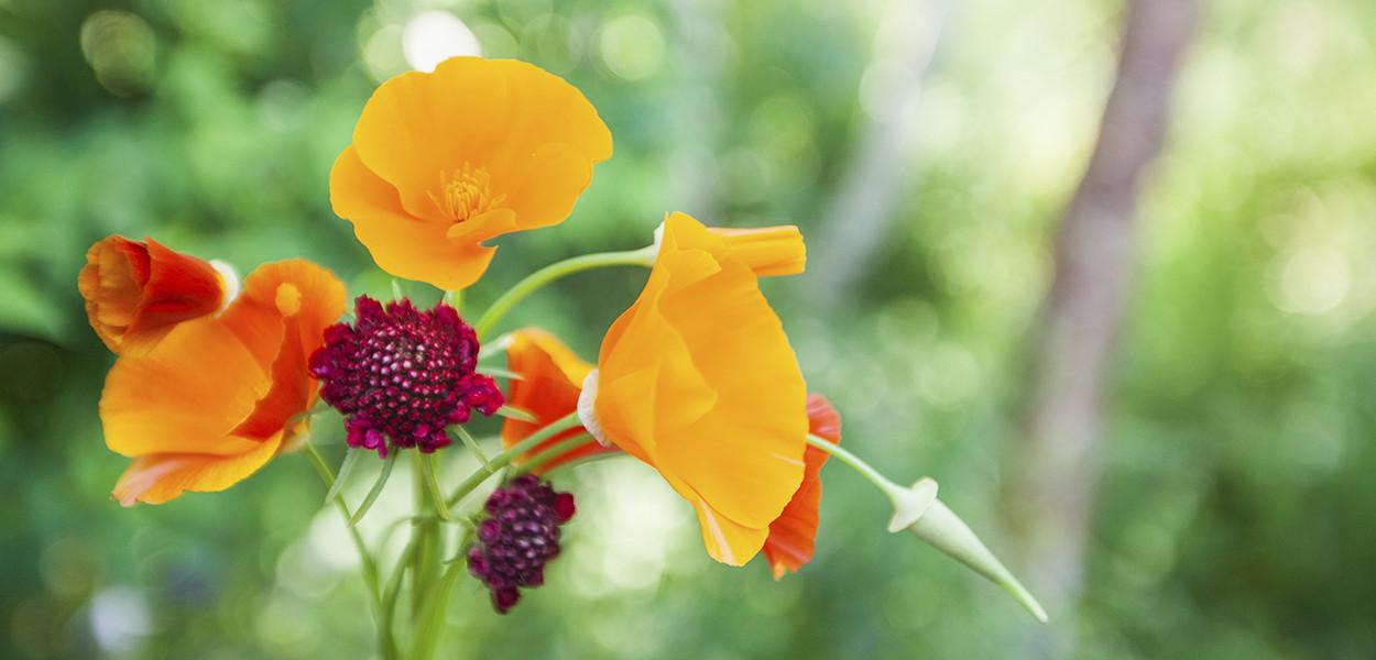leonie-cornelius-colin-gillen-garden-design-californian-poppy4