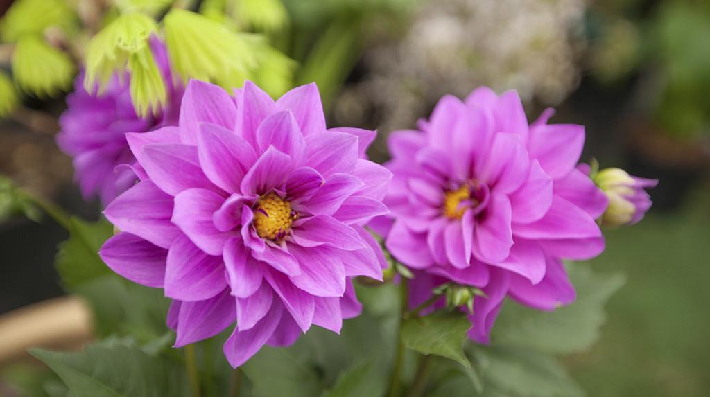leonie-cornelius-garden-designer-ireland-horkans-bloom-chelsea-4