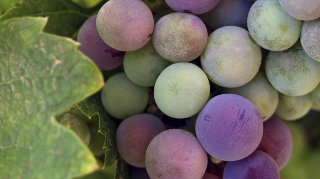 wine-grapes-vinoveritas-organicwine-biodynamic-wine-leonie-cornelius2