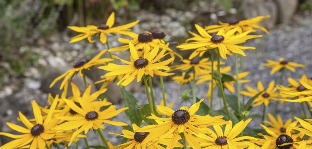 leonie-cornelius-rudbeckia1-yellow-garden-design-ireland-3
