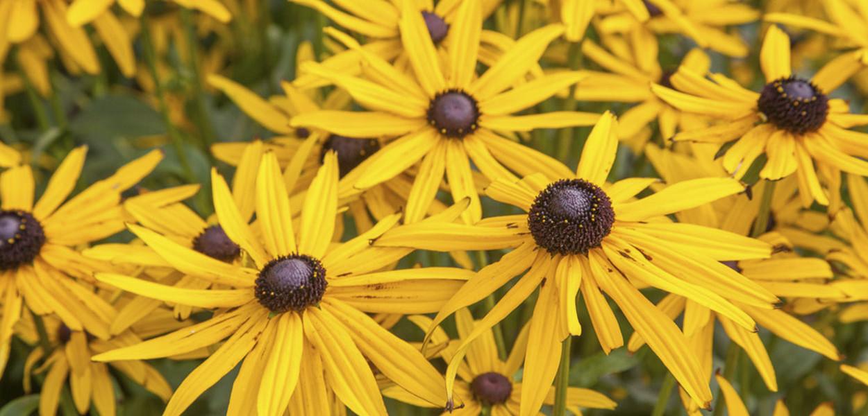 leonie-cornelius-rudbeckia1-yellow-garden-design-ireland2